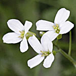 Arabis alpina - Flowers, Sweden, Flora